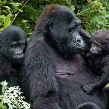 Rwanda Gorilla Trekking Safari Package