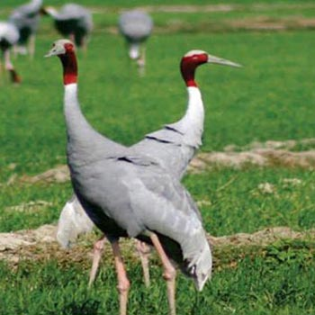 Birding in Assam Tour