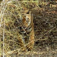 economical Dormmentry tadoba tour package