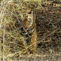 Tadoba Tiger Home 3N/4D Tour Package