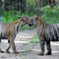 Bandhavgarh Wildlife Tour 2N / 3D For 6 Person 4 Safari