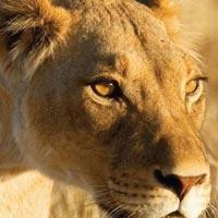 4-days - Masai Mara - lake - Nakuru - lodge - safaris Tour