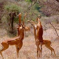 4 Days Meru National Park-Samburu Game Reserve Tour