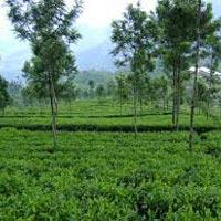 Southern Tea Estate Tour