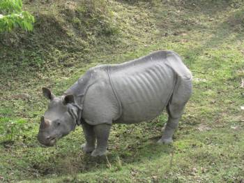 Indian Rhinoceros Kaziranga Tour