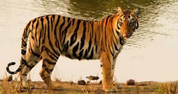 Rajasthan Tiger Tour