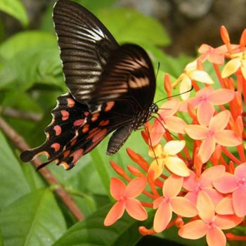 Flying Beauties of Kerala (Butterflies) Tour
