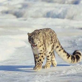 Snow Leopard Trek With Camping Tour