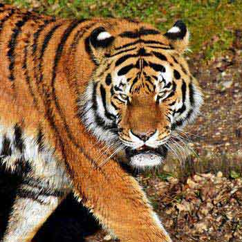 Tadoba Tiger Tour