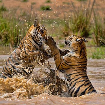 Bandhavgarh Safari package  (M.P)