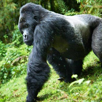 Uganda Gorilla Trecking Package