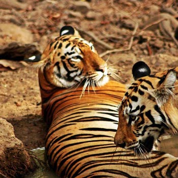 Tadoba Jungle Safari Tour