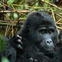 4 Days Rwanda Gorillas and Golden Monkeys Tour