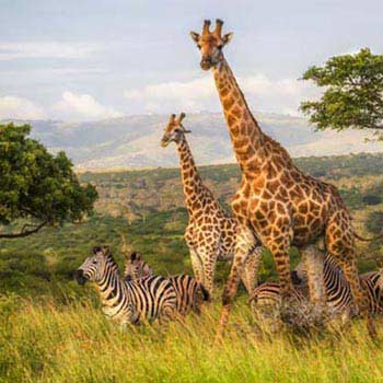 South Africa Jungle Safari Tour