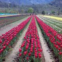 Charming  Kashmir 3N-4D Package