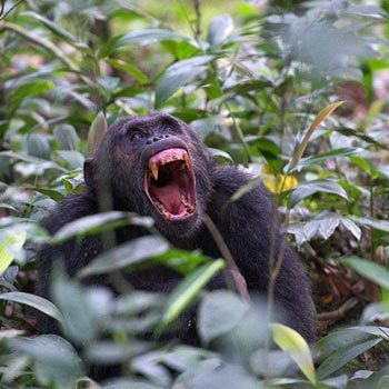 Gorilla Trekking an Chimpanzee Tracking Safari in Uganda Tour
