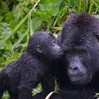 11 Days Rwanda Community and Congo Gorillas Tour
