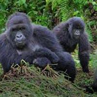 Rwanda  Gorillas  Tour