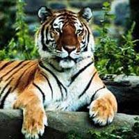 Tiger Tour With Mumbai