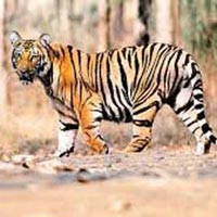 Tadoba Tiger Tour