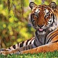 Foot Prints Of Tiger With Taj Tour