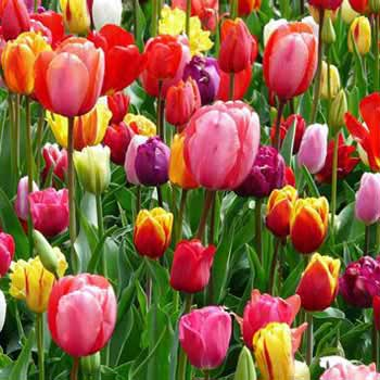 Tulip Festival 6 Nights 7 Days Package