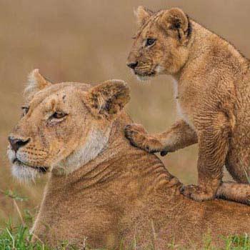 Masai Mara Overnight Safari 2-Day Tour