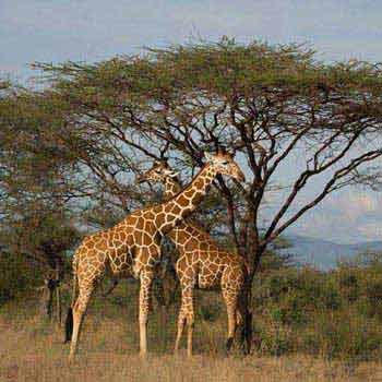 Samburu, Aberdares, Lakes Nakuru, Naivasha, Masai Mara - 7 Days Kenya Safari Tour