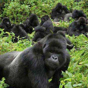 4 Days Gorilla Tracking And Culture Experience Tour