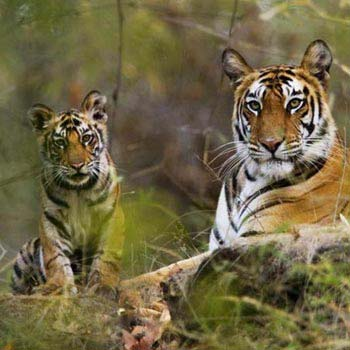Roaring Tigers Tour