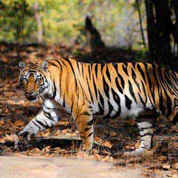 India Tiger Safari Tour Package