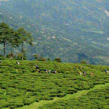 Explore Temi Tea Garden Tour