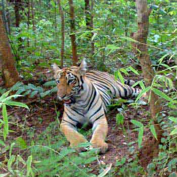 Jungle Book Safari: Tadoba - Pench - Goa Beaches Tour