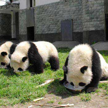Enjoy a Blissful Half Day Chengdu Panda Tour
