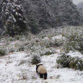 Panda Tracking Adventure in Their Habitat Tour
