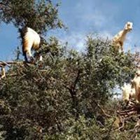 Goats On the Tree in Agadir Morocco Tour