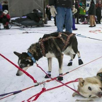 Iditarod Race Sled Dog Tour Package