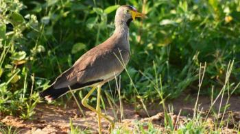 17 Days Uganda Birding Safari Package