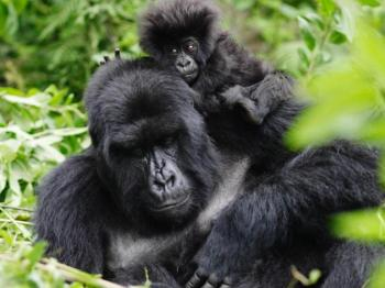 8 Days Rwanda Gorilla and Wildlife Safari Package