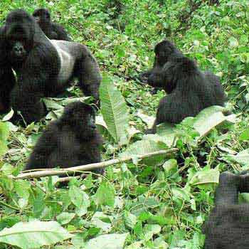 4 Days Gorilla Trekking Package