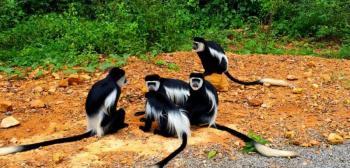 13 Days Uganda Wildlife Safari, Uganda Primate Tracking Safari. Package