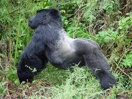 12 Days Big Cats And Rwanda Gorillas Package