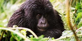 11 Day Gorillas, Chimps, Wildlife and the Nile Package