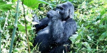 14 Day Complete Uganda Safari  Package