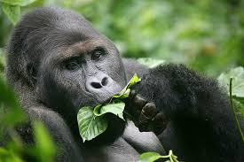 3 Day Democratic Republic of Congo Mountain Gorilla Trek Tour