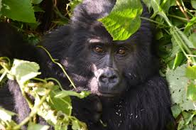 4 Day Dr Congo Gorilla Trek and Rwanda Golden Monkey Tour Package