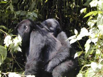 3 Day Eastern Lowland Gorilla Trek Package