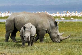 6 Days 5 Nights Safari from Nairobi to Masai Mara, Lake Nakuru, Amboseli, and Tsavo West Ending Tour