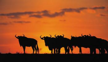 7 Days Mombasa Safari to Tsavo East, Tsavo West, Amboseli, Nakuru and Masai Mara Ending in Nairobi P