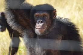 Chimpanzee Eden Package